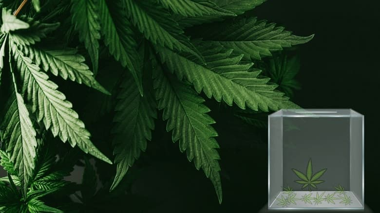 Biometrically Locked Device for Cannabis