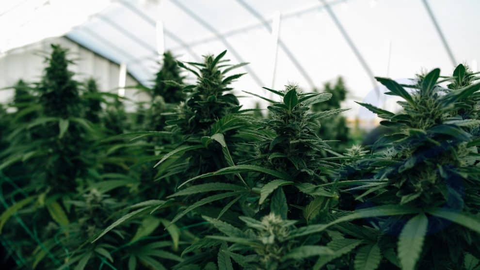 """Rockland City is planning to use a lottery system to decide which vendors would operate recreational marijuana stores, as these stores would now operate in the city. The city council would take a vote on how recreational marijuana stores would operate and where. These regulations would facilitate the initiation of a municipal process, which would, in turn, help in the establishment and operation of the recreation business. The state has already started to accept applications for retail marijuana stores, and officials thus expect to benefit from these regulations soon. The city manager, Tom Luttrell, has said that """"the regulations being considered by the council would limit the number of retail marijuana stores operating in Rockland to six and preference would be given to the four medical marijuana businesses that have been approved to operate in Rockland within last year."""" The owners of these businesses may wish to expand their sales, in which case they would be allotted one of the six slots, the rest would be determined by the lottery system. Presently only one medical marijuana business named Scrimshaw is functional in Rockland city and the council has issued licenses to two out of three other businesses whom the planning board has given approval. The rest have not yet been provided with licenses, and their approval is still pending. The ones who have been issued licenses have their locations distributed almost throughout the city, both in the commercial zones and downtown. The city voters had not expressed their support for adult-use marijuana stores in downtown, last year in November, but the new regulations would allow setting up of marijuana stores anywhere in the city except in the residential areas. The vote, according to councilors, was a close one with a 56 to 44% margin. Ed Glaser, the city councilor, said in a recently held council meeting, """"I think we have a responsibility to the people we asked to vote to do what they asked us to do,"""" thus expressing c"""