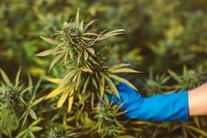 Hemp Farmers From Maine Demand Easier THC Rules