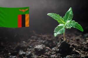 Zambia Legalizes Marijuana Cultivation for Medicinal Use and Export