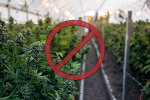 Camarillo City Council Imposes Ban on Hemp Cultivation