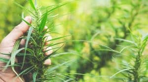 Kansas to Create Regulatory Framework for Commercial Hemp Production