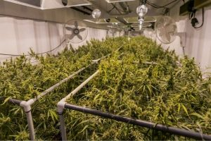 Trym to Use Crop Streaming for Cannabis Seed-to-Sale Platform